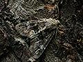 Apamea illyria (41116612721).jpg