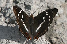 Apatura iris Weinsberg 20080614 1.jpg