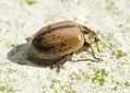 Aphidecta-obliterata-02-fws.jpg