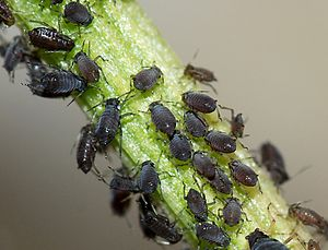 Black bean aphid - Wingless aphids feeding on a stem