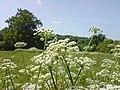 Apiales - Daucus carota - 1.jpg