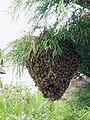 Apis cerana japonica Rad florea nest.jpg