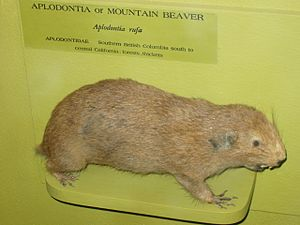 Mountain beaver - Aplodontia rufa specimen at Harvard University