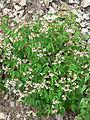 Apocynum androsaemifolium var androsaemifolium 1.jpg
