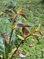 Aporosa cardiosperma young leaves.JPG