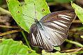 Appias lyncida eleonora female dorsal view 20141213.jpg