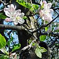 Apple Blossom Time, Oak Glen, CA 3-16a (25308477133).jpg