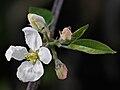 Apple flowers opening 504521866.jpg