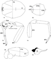 Aptostichus anatomy.png