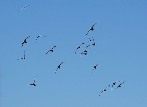 Apus apus flock flying