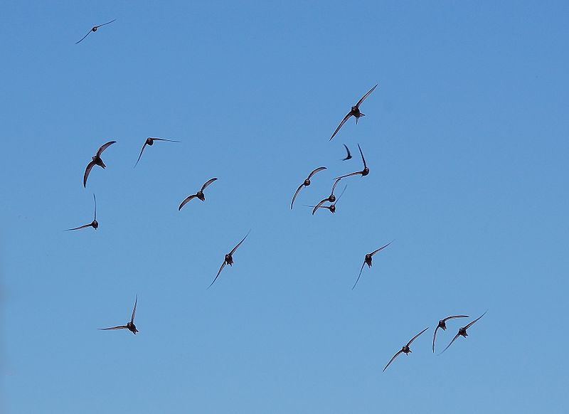 File:Apus apus flock flying.jpg
