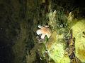 Aquatic fungus champignonAquatique à lamelles Moyenne-Deûle 2015 Lamiot 09.JPG
