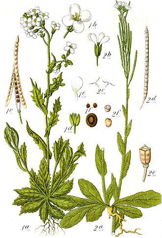 Arabis hirsuta - Image: Arabis spp Sturm 15