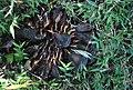 Araucaria bidwillii seeds germimating from a fallen cone.jpg