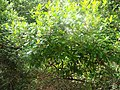 Arbutus unedo.001 - Monfrague.jpg