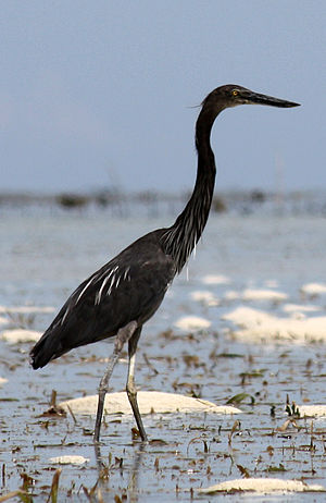 Great-billed heron - Adult in Palawan, Philippines