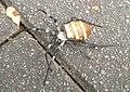 Argiope amoena 2005-08-30.jpg