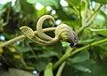 Aristolochia ringens 38.JPG