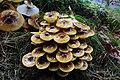 Armillaria mellea (Honey Fungus, D= Honiggelber Hallimasch, NL= Echte honingzwam) white spores and causes white rot, mature (grown up) at NP Hoge Veluwe in the rain - panoramio.jpg