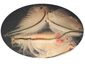 Salinenkrebse (Artemia salina), einer davon mit Eiern