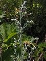 Artemisia absinthium20140723 078.jpg