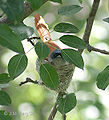 Asian Paradise Flycatcher- Female at nest in Himachal I IMG 2945.jpg