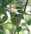 Asian Paradise Flycatcher- Female at nest in Himachal I IMG 2945.jpg