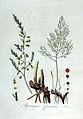 Asparagus officinalis — Flora Batava — Volume v2.jpg