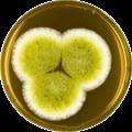Aspergillus caelatus meaox.png