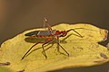 Assassin bug Castolus sp Reduviidae.jpg