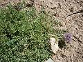 Astragalus leontinus 01.jpg