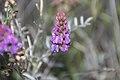 Astragaluspalmeri.jpg
