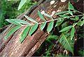 Atherosperma moschatum Monga.jpg