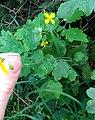 Atlas roslin pl Glistnik jaskółcze ziele 2374 8333.jpg