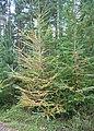 Autumn Larch - geograph.org.uk - 265498.jpg