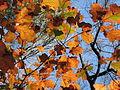 Autumn Leaves Umstead SP NC 3539 (4109371734).jpg
