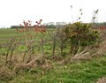 Autumn colours in hedge - geograph.org.uk - 1570789.jpg