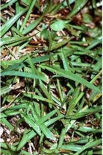 <i>Axonopus</i> genus of plants