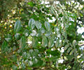 Azara microphylla - leaves (Inao Vásquez) 001.jpg