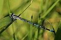 Azure damselfly (Coenagrion puella) male.jpg