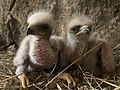 Baby Eagles Armenia.jpg