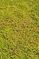 Bacopa monnieri - Agri-Horticultural Society of India - Alipore - Kolkata 2013-01-05 2265.JPG