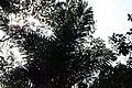Bactris gasipaes 6zz.jpg