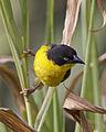Baglafecht Weaver (Ploceus baglafecht) - Flickr - Lip Kee.jpg