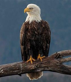 Bald Eagle (Haliaeetus leucocephalus) Kachemak Bay, Alaska.jpg