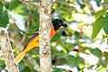 Baltimore Oriole (male) Boy Scout Woods High Island TX 2018-04-11 12-01-46-2 (39993310790).jpg
