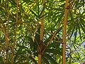 Bamboos in jaffna waiting for pandas.jpg