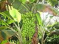 Banana - വാഴ-7.JPG