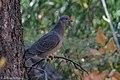 Band-tailed Pigeon Cherry Creek Hwy 15 Gila NF NM 2017-10-17 13-06-25 (25030723858).jpg