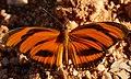 Banded Orange Heliconian (Dryadula phaetusa) male.jpg